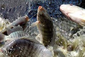 Cá Trung Quốc lấn lướt cá trong nước, Kenya ra lệnh cấm nhập khẩu