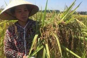 Phát huy nhãn hiệu tập thể lúa nếp thầu dầu để nâng cao thu nhập
