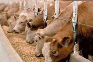 Hơn 1 triệu tấn thức ăn chăn nuôi ở châu Âu chứa các tế bào biến đổi gen bị cấm