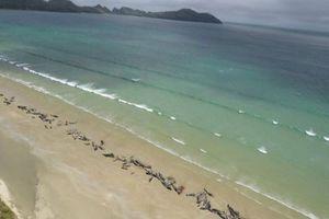 New Zealand: 145 con cá voi bất ngờ mắc cạn rồi nằm chết đầy bờ biển