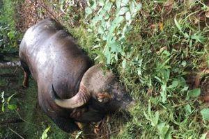 Điều tra cá thể bò tót đực 700kg chết trong rừng