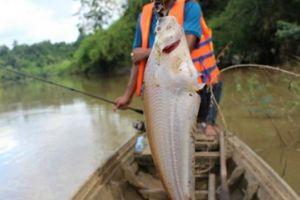 Ly kỳ hành trình ngược sông Đồng Nai hồi hộp săn cá trèn mỏng dính