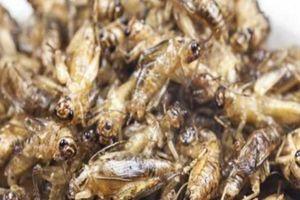 Loại côn trùng là siêu thực phẩm giàu dinh dưỡng