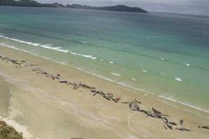 Hàng trăm con cá voi chết bí ẩn, trôi dạt vào bờ biển New Zealand