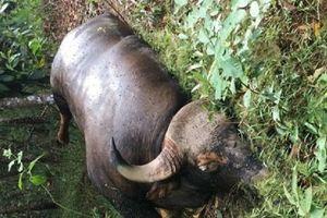 Nguyên nhân bất ngờ khiến cá thể bò tót nặng 700kg chết trong khu bảo tồn