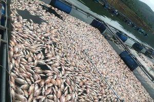 Quảng Nam: Cá nuôi chết trắng hồ sau một đêm