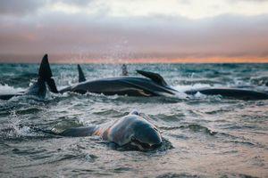 145 con cá voi mắc cạn ở New Zealand và những tiếng khóc bên bờ biển