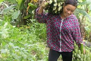 Người trồng chuối bội thu nhờ bón phân Lâm Thao
