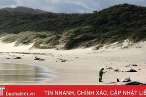 28 con cá voi mắc cạn chết dọc bãi biển Australia