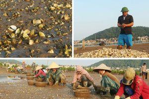 Nghệ An: Ngao, hàu nuôi chết hàng loạt chưa rõ nguyên nhân