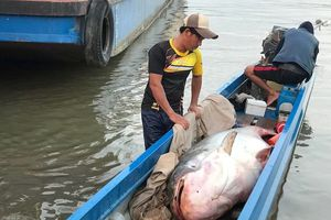 Bắt được cá tra dầu dài 2,5 m, nặng 240 kg