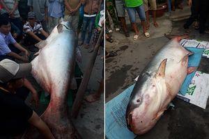 Đồng Tháp: Lão ngư bắt được cá dầu 'khủng' nặng trên 200kg