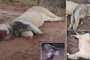 Nam Phi bắt 6 người Việt nấu cao 40 con sư tử
