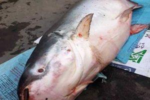 Người dân đổ xô xem cá 'khủng' to như chiếc xuồng ở miền Tây
