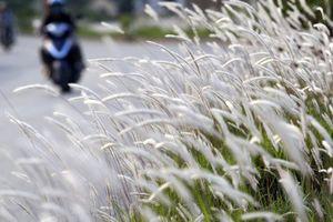 Con đường cỏ lau trắng muốt hiếm gặp ở Hà Nội