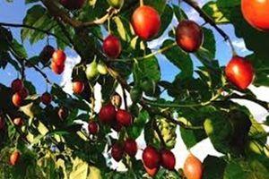 Ào ạt trồng cà chua lạ 'giá triệu đồng/kg', nông dân 'lĩnh đủ'
