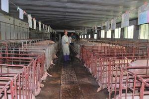 Giá lợn 'hạ nhiệt' nhưng vẫn ở mức cao trong khu vực
