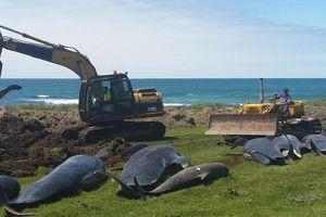 Hơn 50 cá voi chết do mắc cạn tại New Zealand