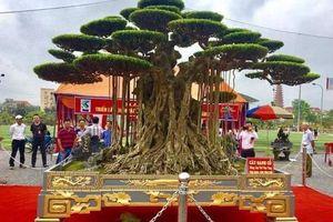 Điều không ngờ về siêu cây sanh 'Đại thế vân tùng' được dát 5 cây vàng