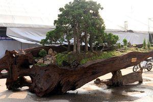 Cặp bonsai giá bạc tỷ có gì đặc biệt?