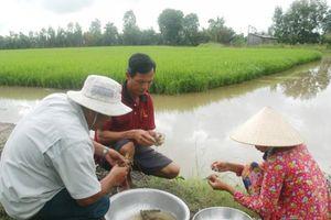 Luân canh tôm – lúa: Giảm chi phí, tăng lợi nhuận