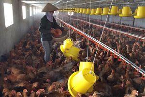 Hà Nội phát triển chăn nuôi hiệu quả, bền vững