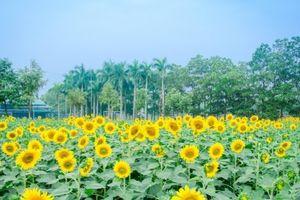 Những địa điểm 'sống ảo' với hoa Hướng Dương không nên bỏ lỡ