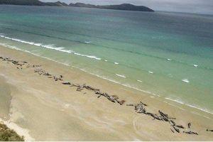 Mắc cạn, hơn trăm con cá voi phơi xác trên bờ biển