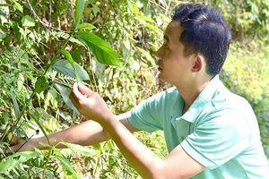 Tiến sỹ trẻ đem lại 'danh phận' cho cây vú bò, ngọc cẩu