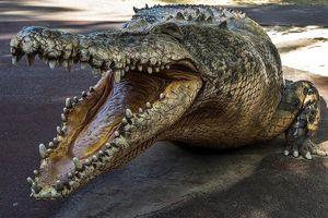 Bắt cá sấu khổng lồ nặng 500kg sau khi tìm thấy 1 thi thể người
