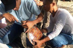 Đà Nẵng: Nội soi gắp rác thải du lịch trong bụng rùa biển