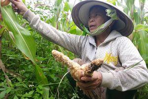 Quảng Ngãi: Đàn khỉ trăm con tràn xuống núi tàn phá hoa màu của dân