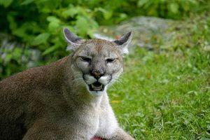 Những điều thú vị về loài báo sư tử