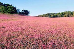 Liều lĩnh đào hố trồng cây ở đồi cỏ hồng ven hồ Đan Kia - Suối Vàng