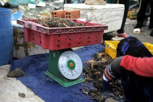Cam Ranh: Sau bão, Tôm hùm chỉ còn 100.000 đồng/kg