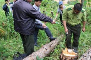 Lâm Đồng: Khởi tố vụ đầu độc hơn 600 cây thông