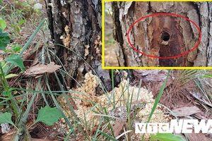 Khởi tố vụ án hơn 600 cây thông ở Lâm Đồng bị đầu độc