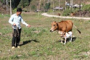 Thăm lại đàn bò Báo Nông thôn ngày nay tặng hộ nghèo biên giới