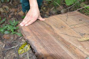 Hà Giang: Tạm giữ 3 đối tượng khai thác gỗ Nghiến trái phép
