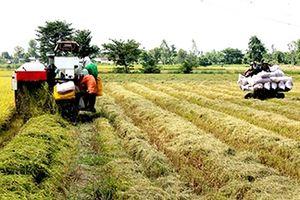 TP.Cần Thơ: Mở rộng diện tích sử dụng giống lúa chất lượng cao