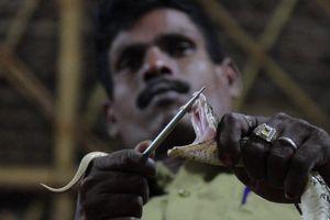 Bộ tộc săn bắt rắn ở Ấn Độ