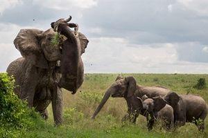 Đang ngủ, trâu rừng bị voi đánh chết cuốn lên trên không