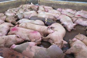 Hàng trăm con heo ở Hà Nội chán ăn rồi lăn ra chết