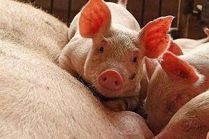 Hà Nội xuất hiện 6 ổ dịch bệnh lở mồm long móng ở lợn