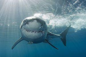 Những sự thật bất ngờ và thú vị về loài cá mập