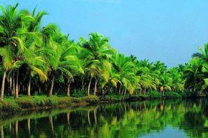 Trà Vinh khuyến khích nhà vườn trồng dừa tiêu chuẩn hữu cơ