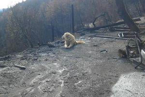 Sau thảm kịch cháy rừng ở Mỹ, chú chó vẫn tìm đường về nhà và nằm đợi chủ