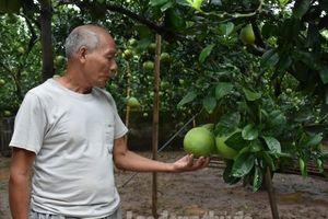 Đẩy mạnh ứng dụng khoa học kỹ thuật để tăng hiệu quả kinh tế từ trồng bưởi