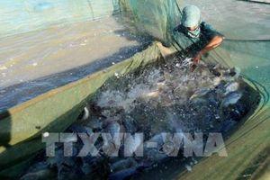 Khả năng mở rộng mô hình nuôi cá rô phi đơn tính VietGAP