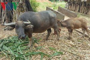 Yên Bái chủ động phòng chống rét cho gia súc